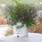 Double Play® Artisan® Spirea - Buy Plants Online