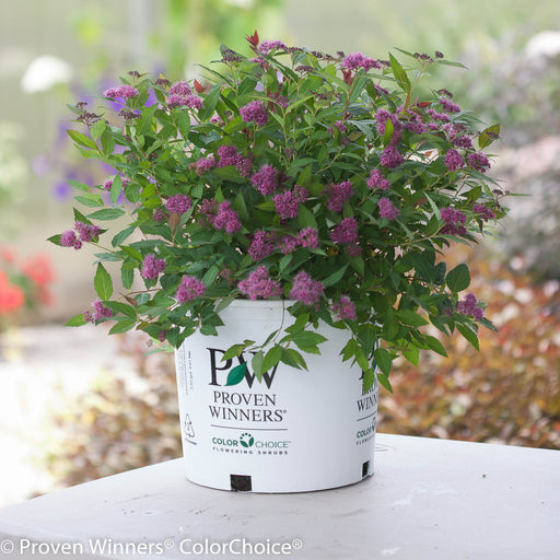 Double Play® Pink Spirea in container
