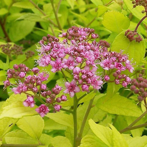 'Gold Mound' Spirea - Buy Plants Online