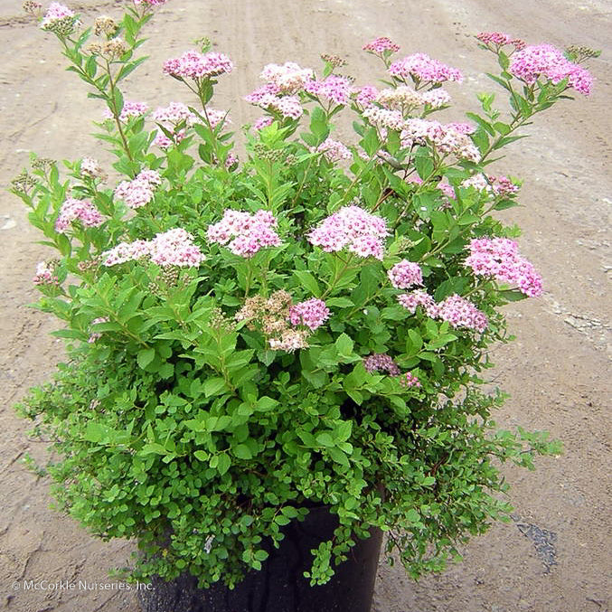 'Little Princess' Spirea in container