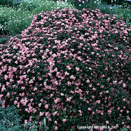 'Little Princess' Spirea