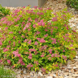 Magic Carpet™ Spirea