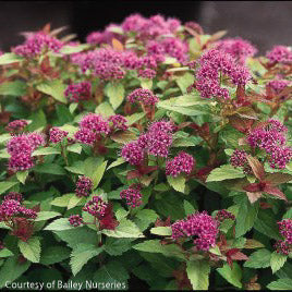 Magic Carpet™ Spirea up close, bloom