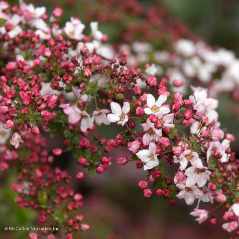 'Fujino Pink' Spirea up close, bloom