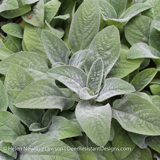 'Helene von Stein' Lamb's Ear - Outside.com
