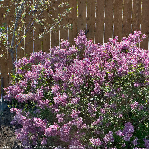 Bloomerang® Purple Reblooming Lilac