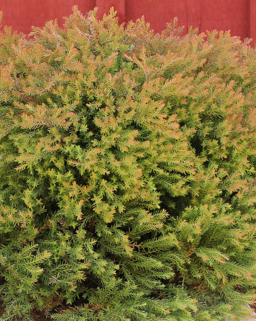 Fire Chief™ Arborvitae - Outside.com