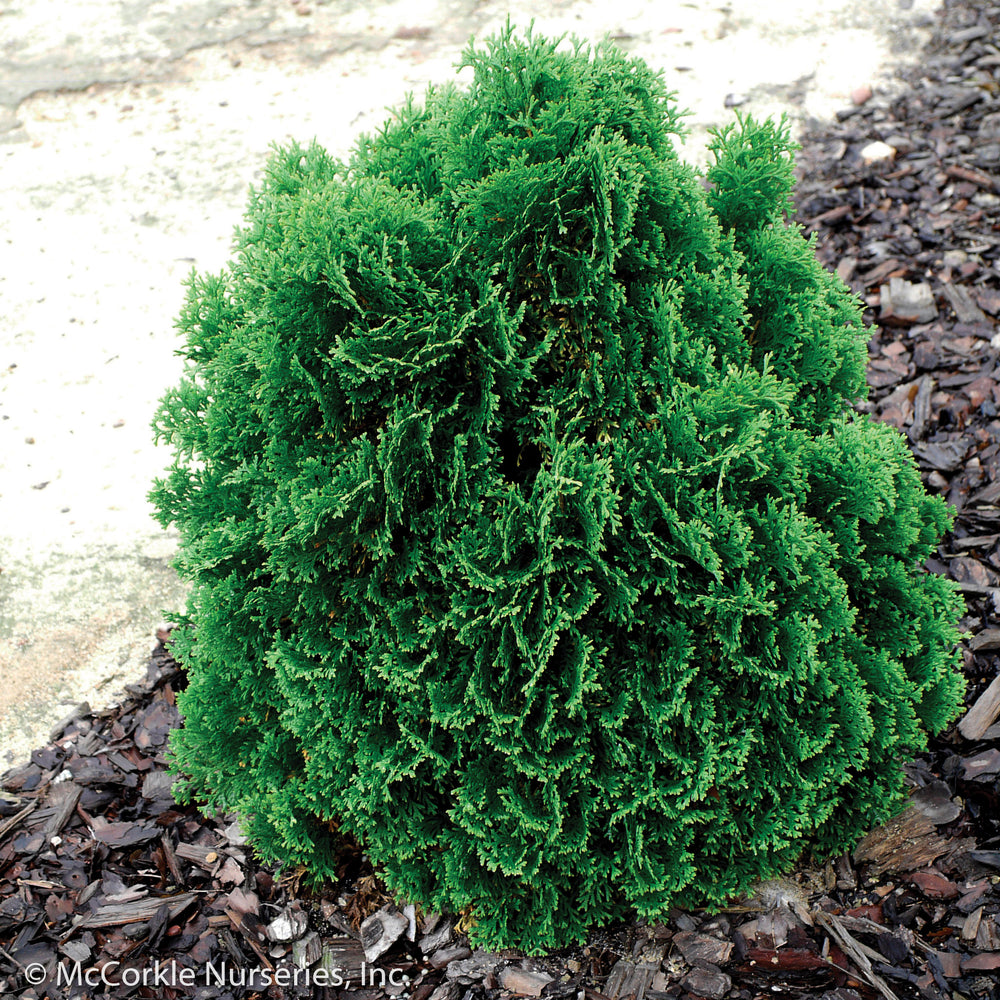 Hot Head® Arborvitae