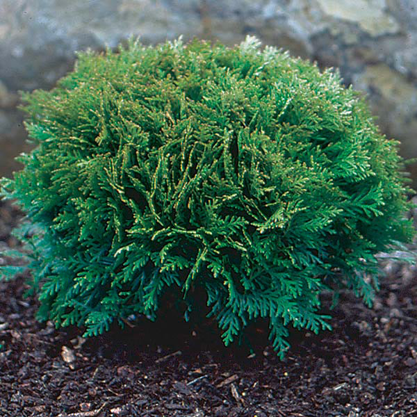 'Little Giant' Arborvitae - Buy Plants Online