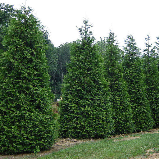 'Green Giant' Arborvitae - Outside.com