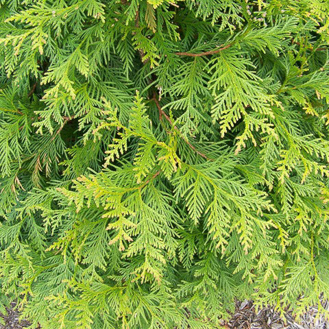 'Green Giant' Arborvitae up close, bloom