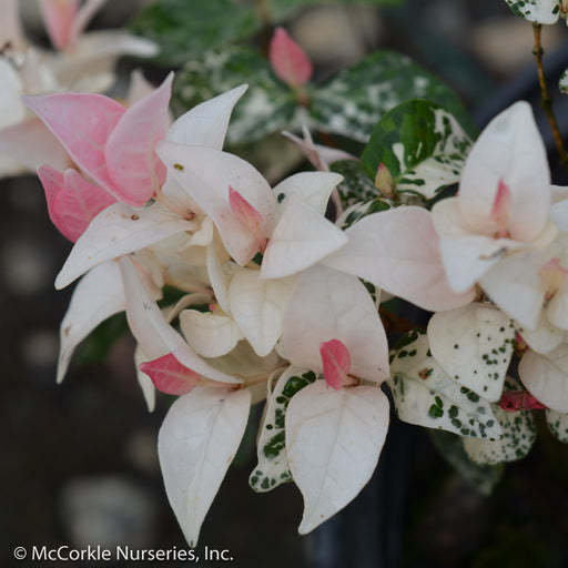 Snow-N-Summer™ Asiatic Jasmine - Buy Plants Online