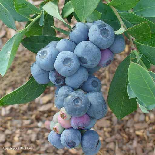Titan™ Rabbiteye Blueberry - Buy Plants Online
