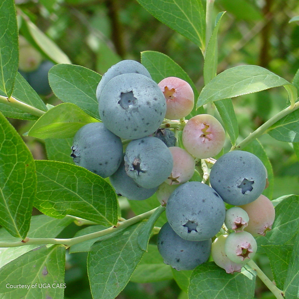 'Vernon' Rabbiteye Blueberry - Buy Plants Online