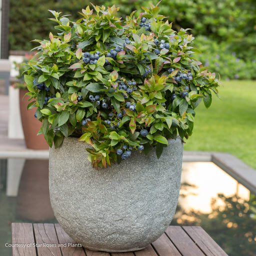 Jelly Bean® Southern Highbush Blueberry - Buy Plants Online