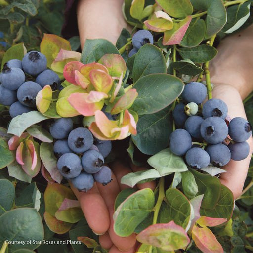 Peach Sorbet® Southern Highbush Blueberry - Buy Plants Online