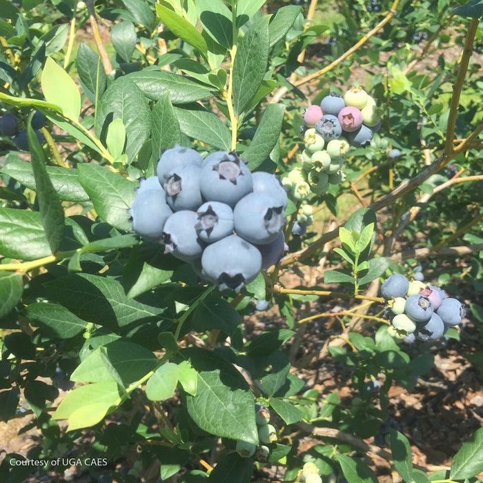 'Suziblue' Southern Highbush Blueberry - Buy Plants Online
