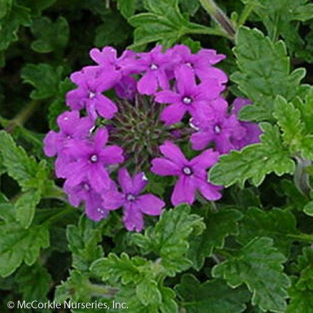 'Homestead Purple' Verbena up close, bloom