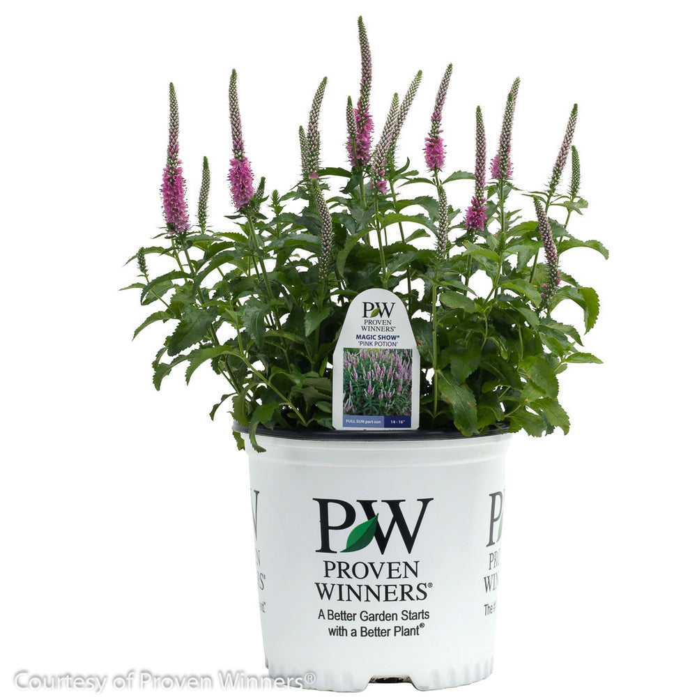 Magic Show® 'Pink Potion' Speedwell - Buy Plants Online