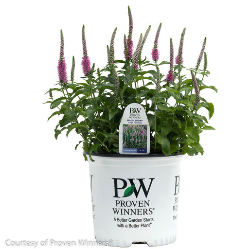 Magic Show® 'Pink Potion' Speedwell in container
