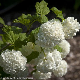 Chinese Snowball Viburnum - Outside.com
