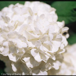 Chinese Snowball Viburnum - Buy Plants Online
