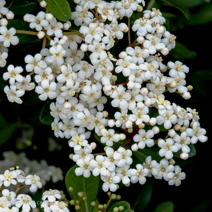 'Mrs. Schiller's Delight' Viburnum - Buy Plants Online