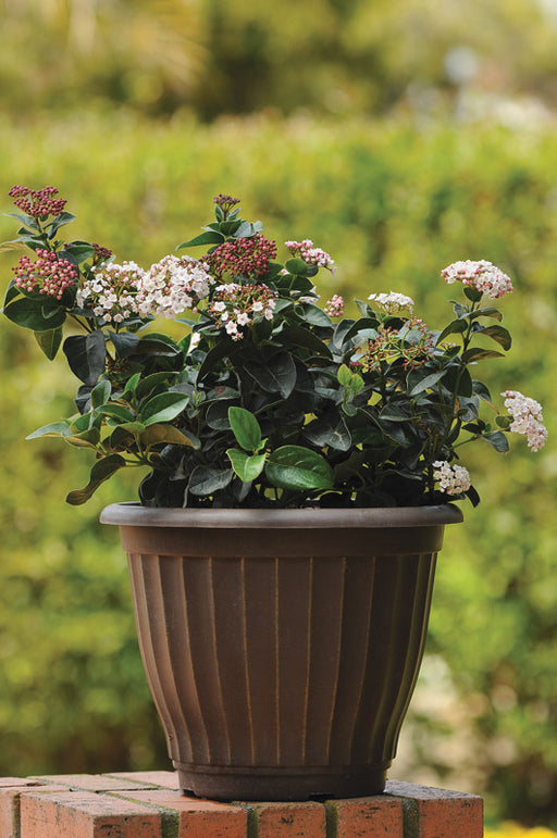Shades of Pink Viburnum - Buy Plants Online