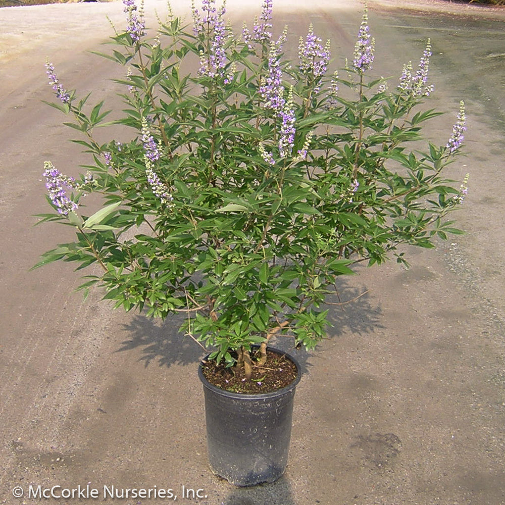 'Shoal Creek' Chaste Tree - Buy Plants Online