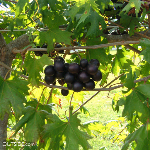 'Southern Home' Muscadine Grape - Buy Plants Online
