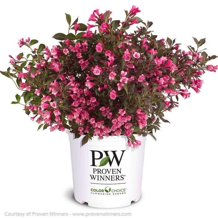 Wine & Roses® Weigela in container