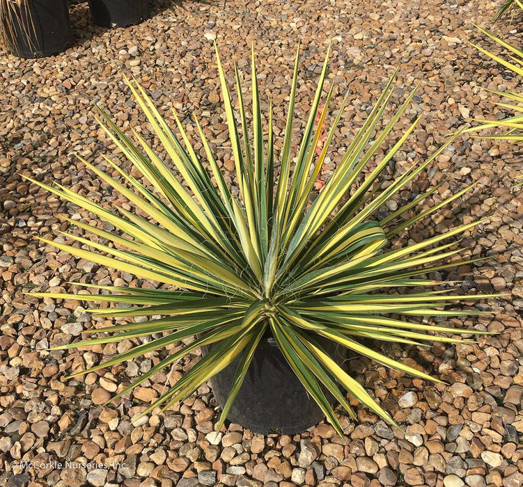 'Color Guard' Yucca in container