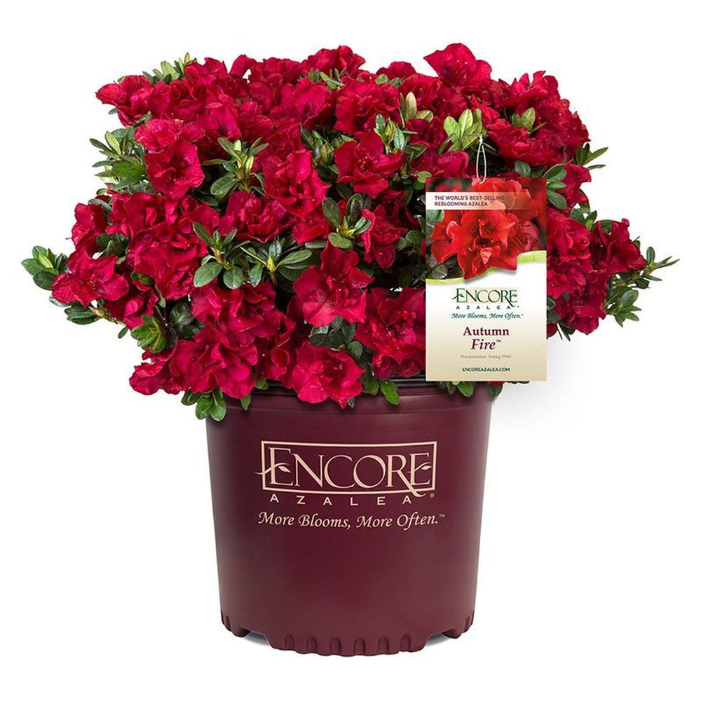 Encore® Autumn Fire™ Azalea