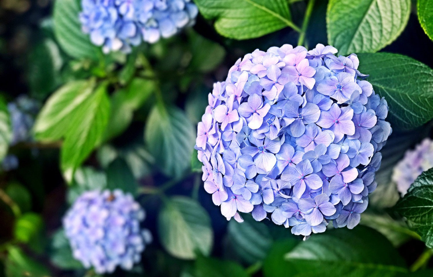 Endless Summer® The Original Bigleaf Hydrangea - Buy Plants Online