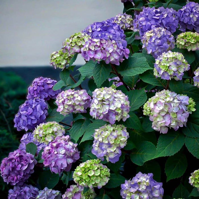 BloomStruck® Hydrangea - Buy Plants Online