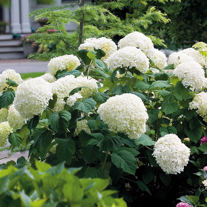 Incrediball® Hydrangea - Buy Plants Online