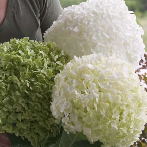 Incrediball® Hydrangea - Outside.com