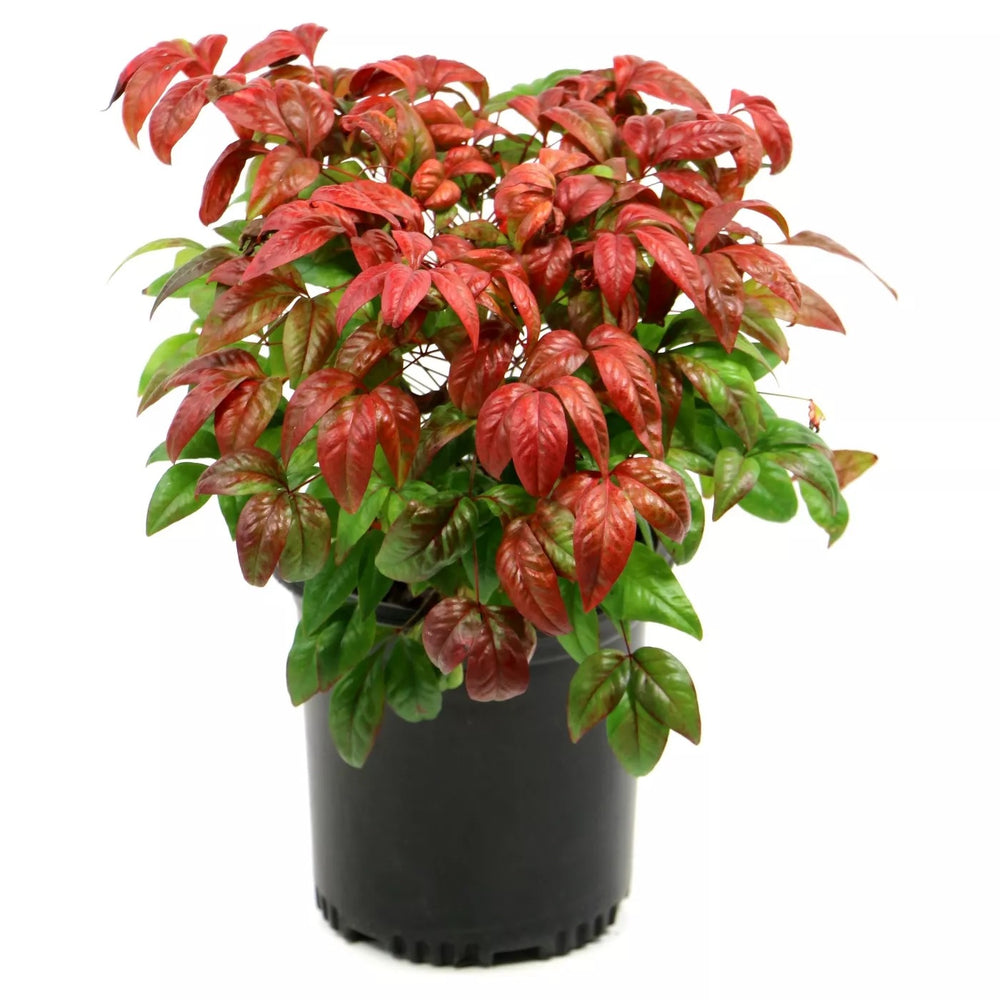 'Firepower' Heavenly Bamboo - Buy Plants Online