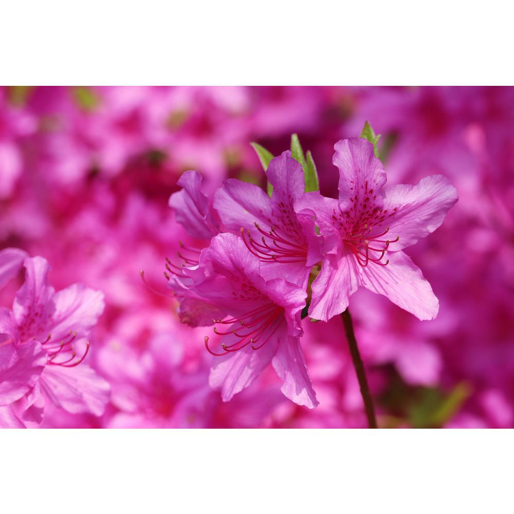 Encore® Autumn Sweetheart™ Azalea