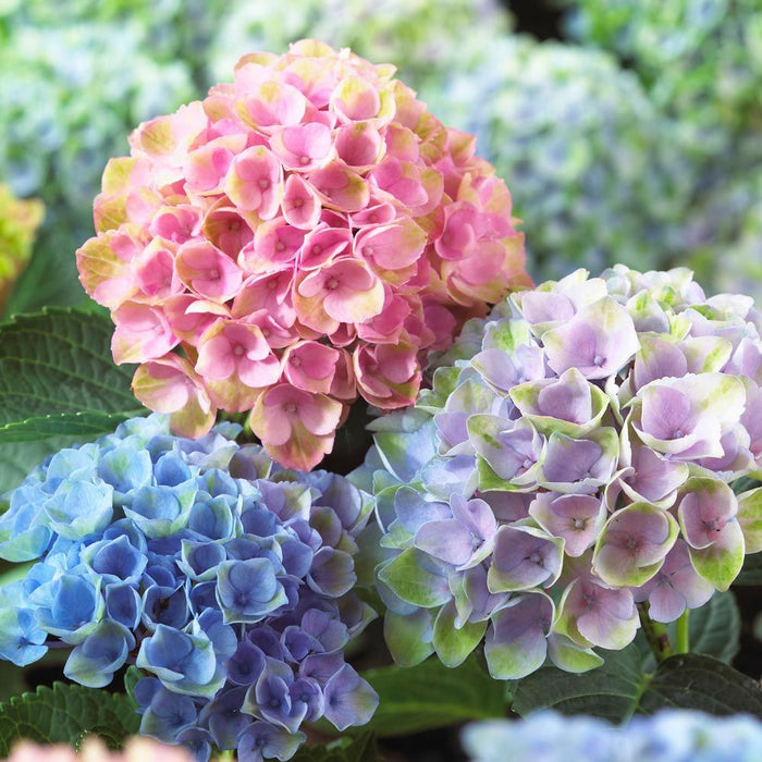 Everlasting® Revolution Hydrangea - Buy Plants Online