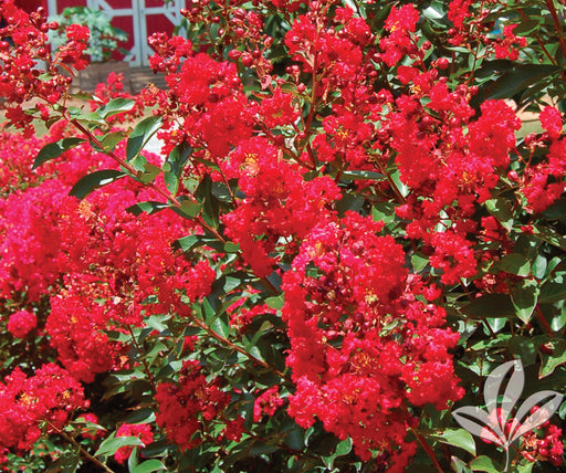 Dynamite® Crapemyrtle - Outside.com