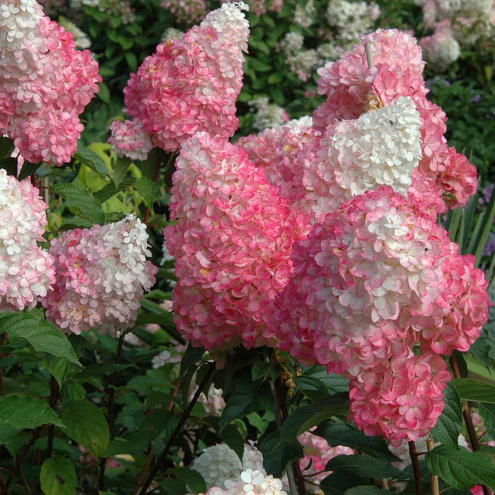 Vanilla Strawberry™ Hydrangea - Buy Plants Online