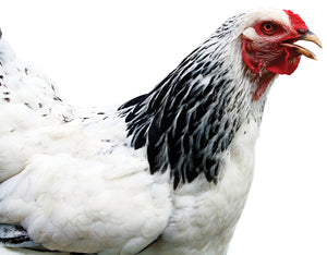 The Best Joint Supplements The Chicken or The Egg… or the Cow?