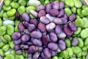 BROAD BEANS PURPLE, VICIA FABA