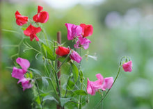 Load image into Gallery viewer, SWEET PEA - LATHERS ODORATUS 'LITTLE SWEETHEART'