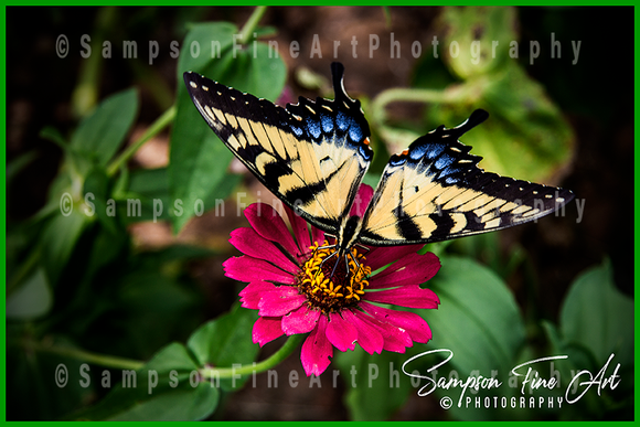 Pale Swallowtail Butterfly On Zinnia Flower Color Photograph - sasyjamdesigns