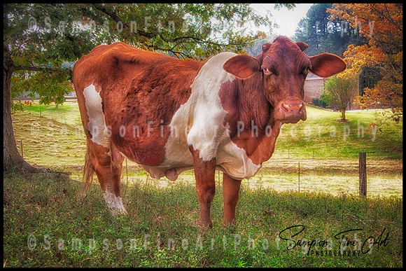 Moo La La Bovine Color Photograph - sasyjamdesigns