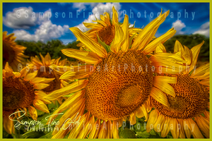 Sunflower Looking Down Color Photograph - sasyjamdesigns
