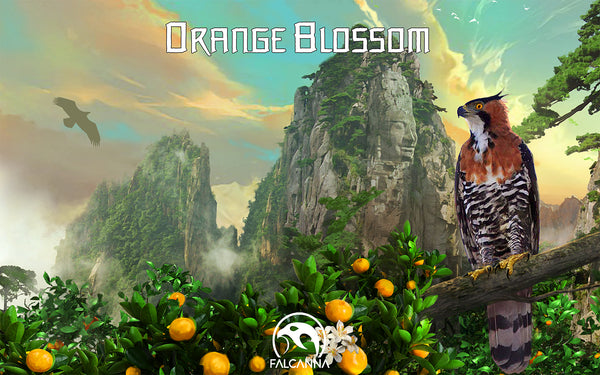 Falcanna Orange Blossom Hoody