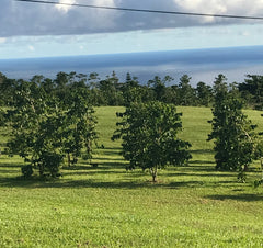 "alt=""Coffee Orchard overlooking Pacific Ocean"""